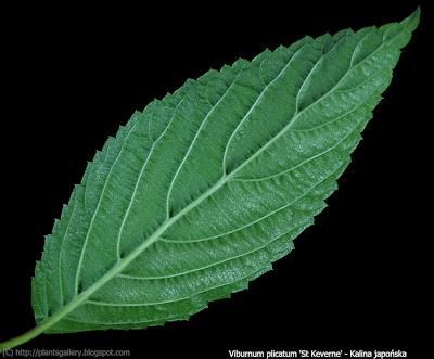 Viburnum plicatum 'St Keverne' - Kalina japońska 'St Keverne'