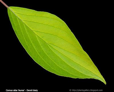 Cornus alba 'Aurea' leaf - Dereń biały 'Aurea' liść z wierzchu