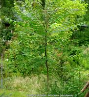 Ailanthus altissima leaf - Bożodrzew gruczołowaty liść