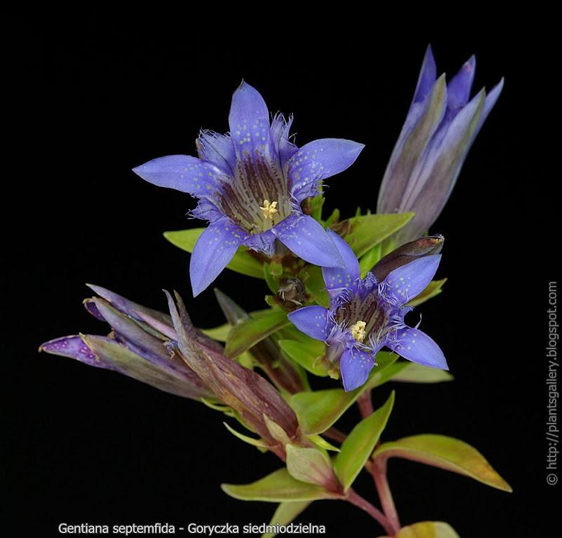 Gentiana septemfida  - Goryczka siedmiodzielna kwiatostan