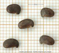 Robinia pseudoacacia seeds - Robinia akacjowa nasiona