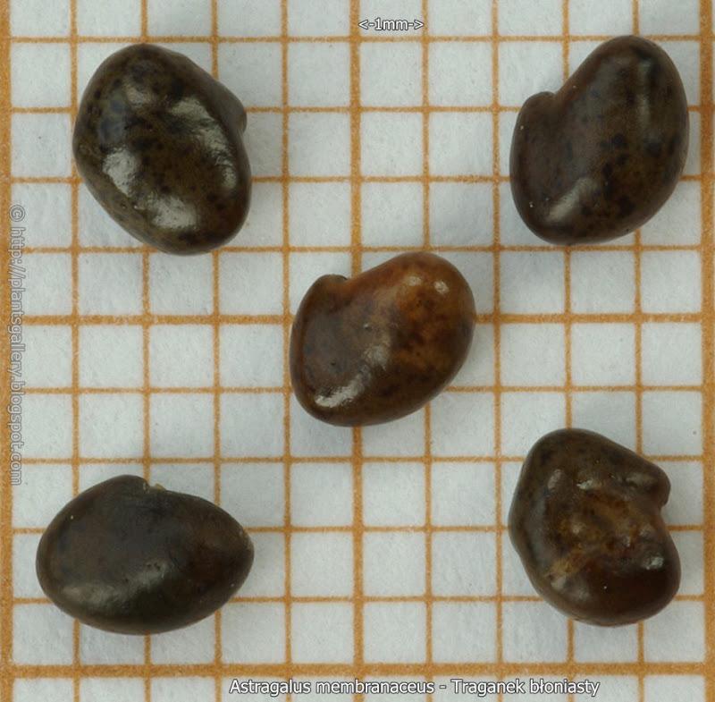 Astragalus membranaceus seeds - Traganek błoniasty nasiona