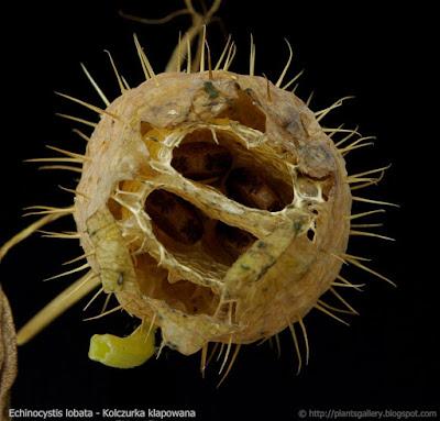 Echinocystis lobata - Kolczurka klapowana