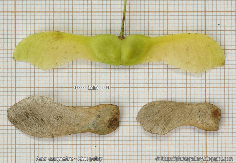 Acer campestre seeds - Klon polny nasiona