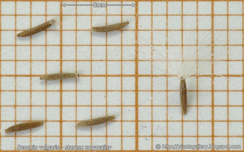 Senecio vulgaris seeds - Starzec zwyczajny nasiona
