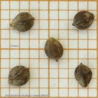 Schoenoplectus lacustris seeds - Oczeret jeziorny nasiona
