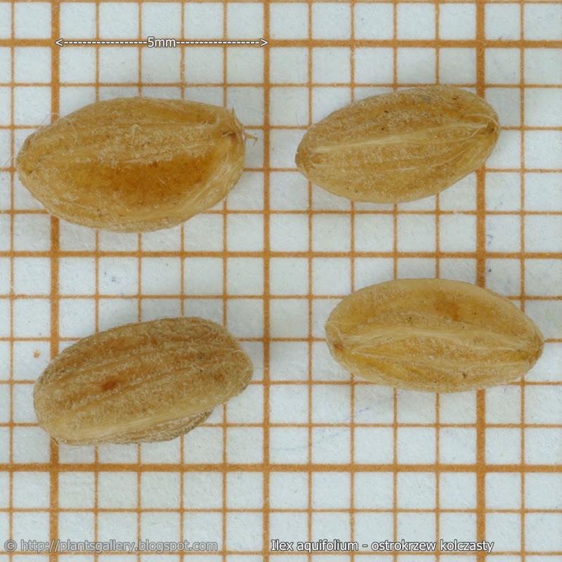 Ilex aquifolium seeds - Ostrokrzew kolczasty nasiona