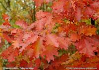 Quercus rubra leaf - Dąb czerwony liście jesienią