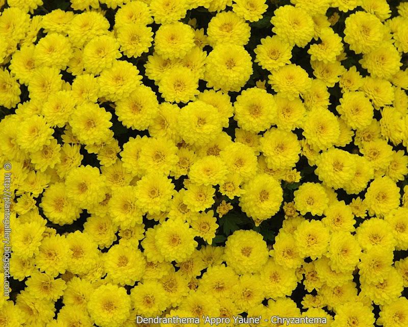 Dendranthema 'Appro Yaune' flowers  - Chryzantema 'Appro Yaune'  kwiaty