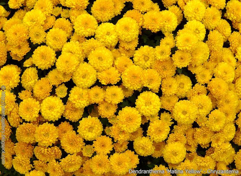 Dendranthema 'Matina Yellow' - Chryzantema