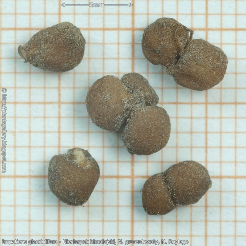 Impatiens glandulifera  seeds - Niecierpek himalajski  nasiona