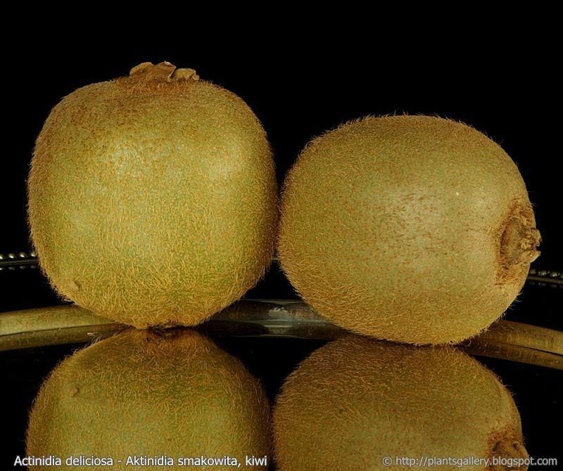 Actinidia deliciosa fruit - Aktinidia smakowita, kiwi owoce