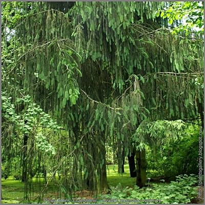 Picea abies 'Cranstonii' - Świerk pospolity wężowy 'Cranstonii'