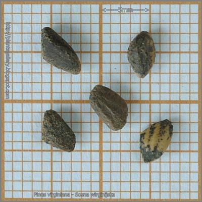 Pinus virginiana - Sosna wirginijska