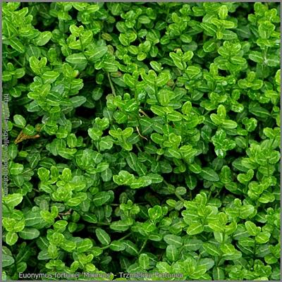 Euonymus fortunei 'Minimus' - Trzmielina Fortunea 'Minimus'