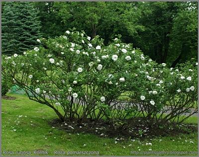 Rosa rugosa 'Kórnik' - Róża pomarszczona 'Kórnik'