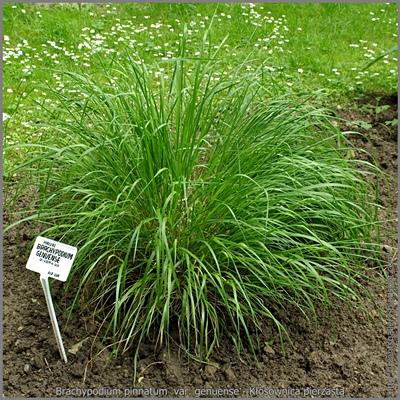 Brachypodium pinnatum var. genuense - Kłosownica pierzasta