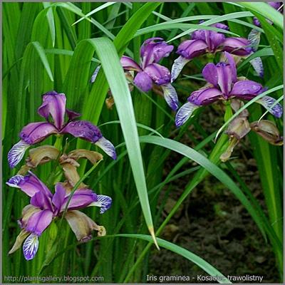 Iris graminea - Kosaciec trawolistny