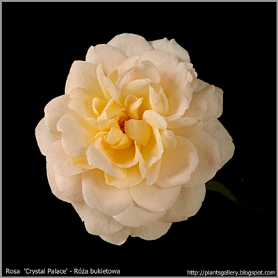 Rosa 'Crystal Palace' - Róża bukietowa 'Crystal Palace'