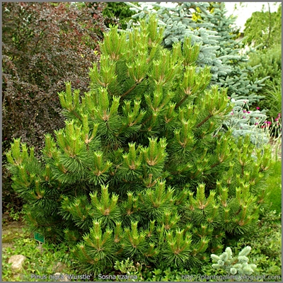 Pinus nigra 'Wurstle' - Sosna czarna 'Wurstle'
