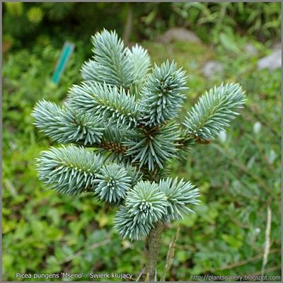 Picea pungens 'Mseno' - Świerk kłujący 'Mseno'