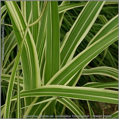 Miscanthus sinensis var. condensatus 'Cosmopolitan' - Miskant chiński 'Cosmopolitan'