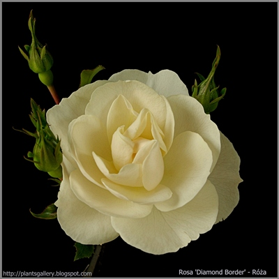 Rosa 'Diamond Border' - Róża 'Diamond Border'
