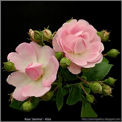 Rosa 'Jasmina' - Róża 'Jasmina'