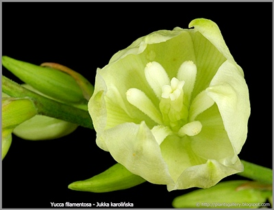 Yucca filamentosa - Jukka karolińska