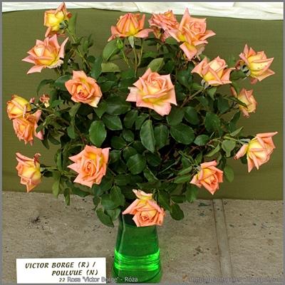 Rosa 'Victor Borge' - Róża 'Victor Borge'