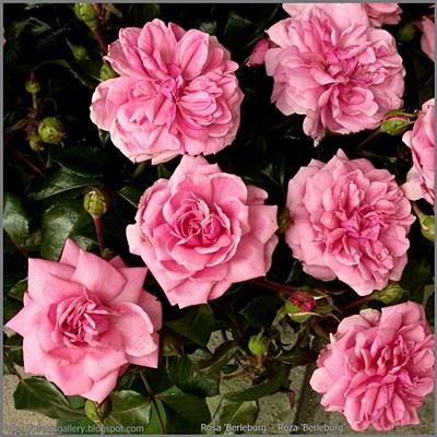 Rosa 'Berleburg' - Róża 'Berleburg'