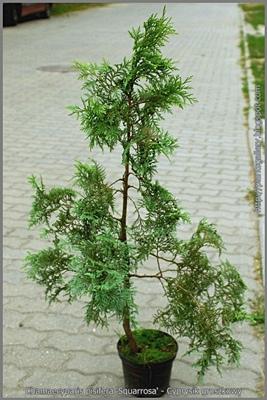 Chamaecyparis pisifera 'Squarrosa' - Cyprysik groszkowy 'Squarrosa'