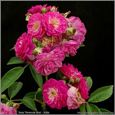 Rosa 'Perennial Blue' - Róża  'Perennial Blue'