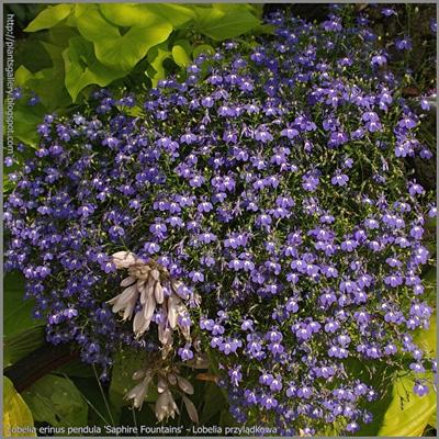 Lobelia erinus pendula 'Sapphire Fountains' - Lobelia przylądkowa 'Sapphire Fountains'