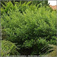 Salix gracilistyla 'Melanostachys' - Wierzba wiotka odm. czarnokotkowa