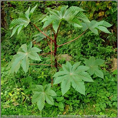 Ricinus communis - Rącznik zwyczajny