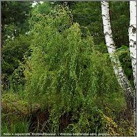 Salix x sepulcralis 'Erythroflexuosa' - Wierzba babilońska odm. pogięta