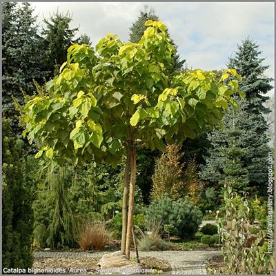 Catalpa bignonioides 'Aurea' - Surmia bignoniowa