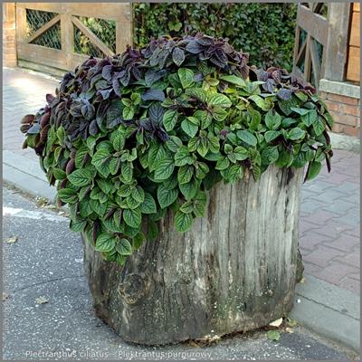 Plectranthus ciliatus - Plektrantus purpurowy