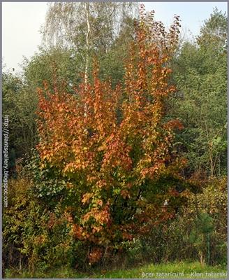 Acer tataricum autumn - Klon tatarski jesienią