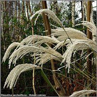 Miscanthus sacchariflorus - Miskant cukrowy