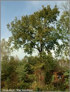Ulmus laevis - Wiąz szypułkowy