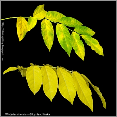 Wisteria sinensis autumn leaf - Glicynia chińska jesienne liście