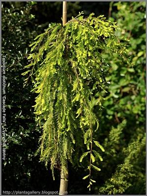 Taxodium distichum 'Cascade Falls' - Cypryśnik błotny 'Cascade Falls'