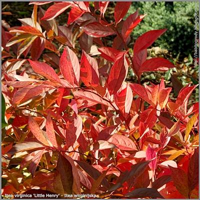Itea virginica 'Little Henry' autumn leaf - Itea wirginijska 'Little Henry' liście jesienią