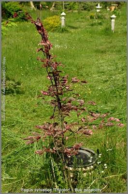 Fagus sylvatica 'Purpurea Tricolor' - Buk pospolity 'Purpurea Tricolor