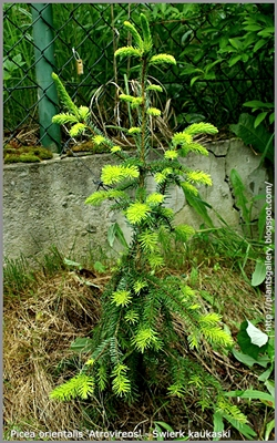 Picea orientalis 'Atrovirens' - Świerk kaukaski 'Atrovirens'