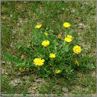 Taraxacum officinale - Mniszek lekarski, dmuchawiec pokrój