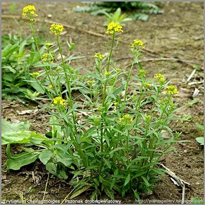 Erysimum cheiranthoides - Pszonak drobnokwiatowy pokrój