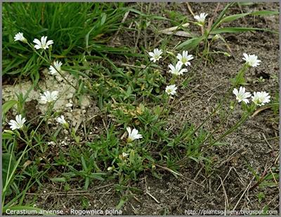 Cerastium arvense - Rogownica polna pokrój